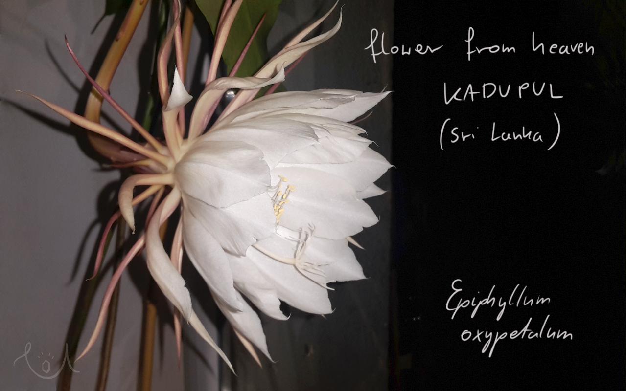 Epiphyllum oxypetalum – Beauty under the Moon