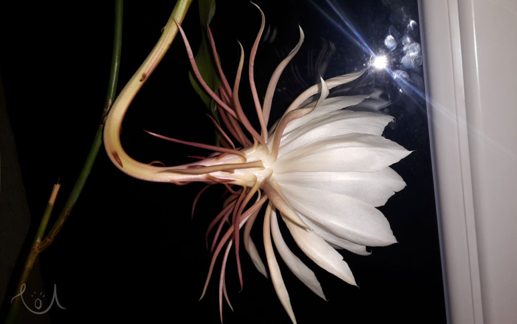 Epiphyllum oxypetalum - Beauty under the Moon